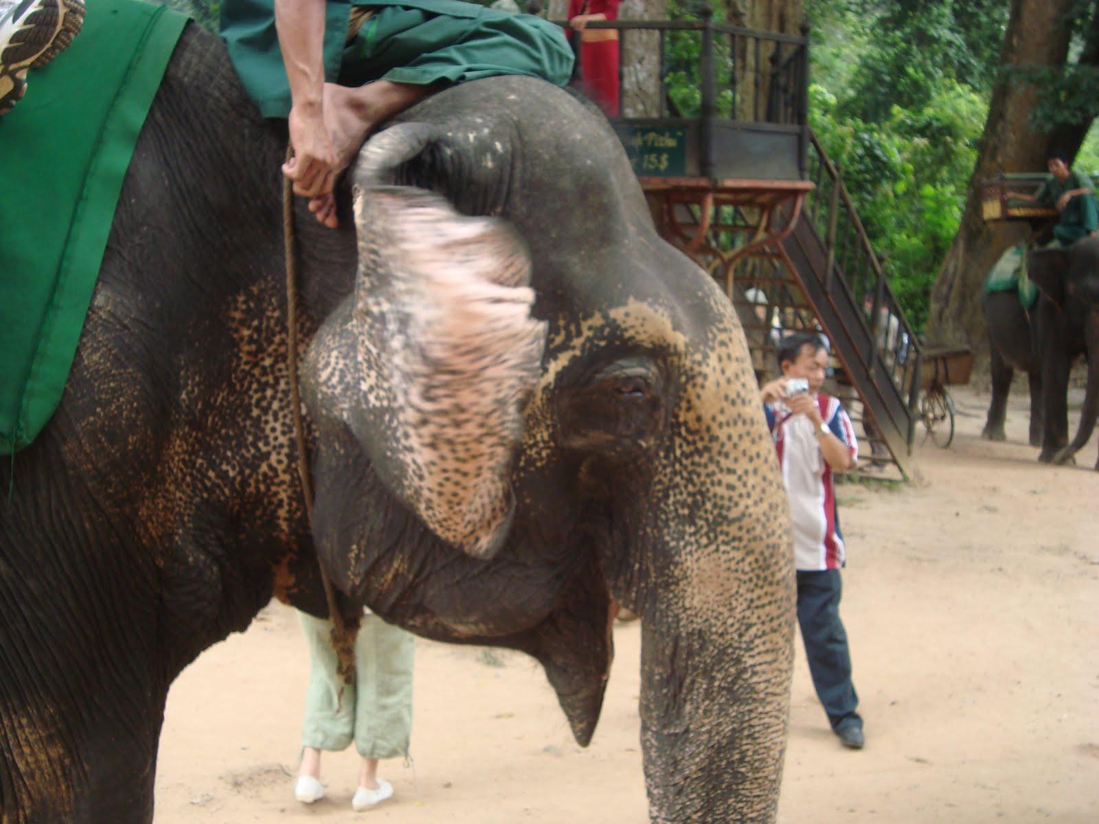 Elefant Kambodscha