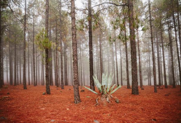 Pflanzen Gran Canarias