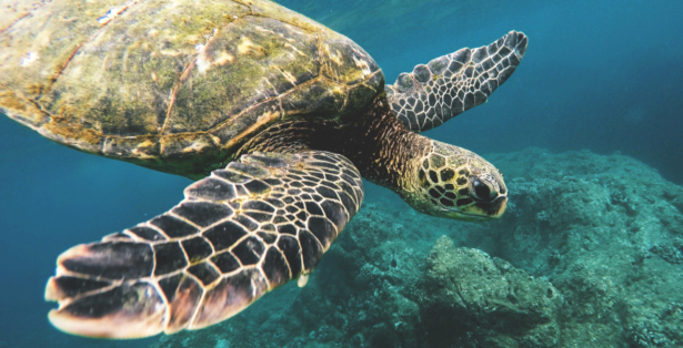 Meeresschildkröten-TUI