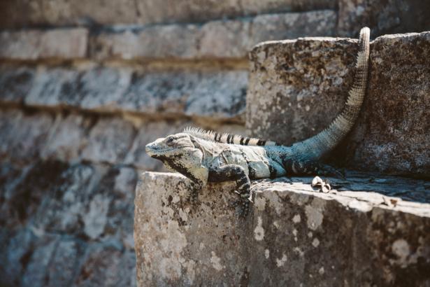 Reptil in Uxmal Yucatan Mexiko