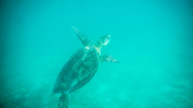 Schnorcheln mit Meeresschildkröten in Akumal