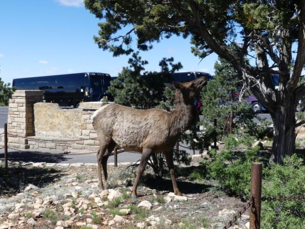 TUI_Amerika_USA_Nationalpark_Grand Canyon_Elchkuh