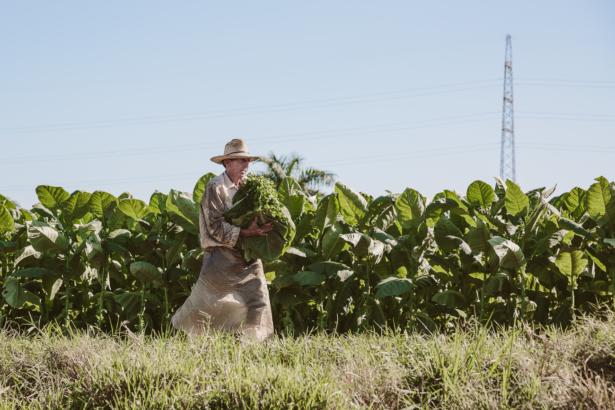 Tabakanbau in Vinales Kuba