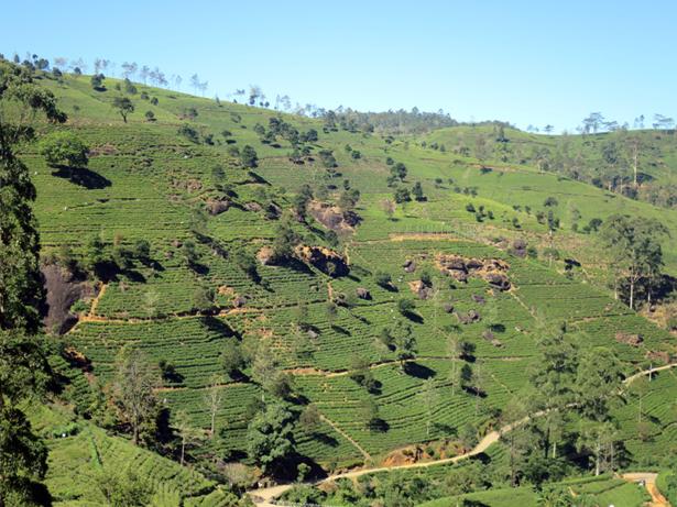 Sri Lanka ist reich an Teeplantagen im Hochland.
