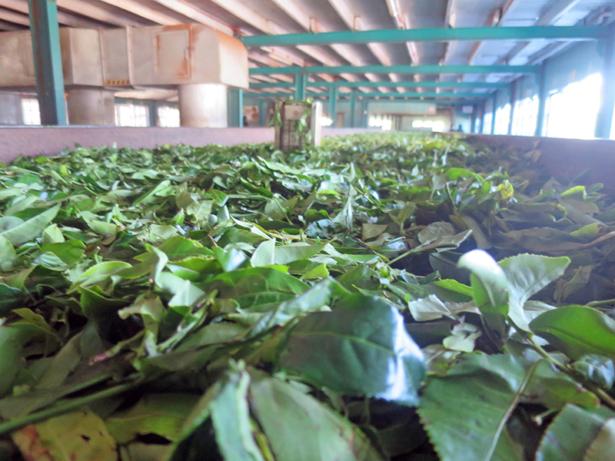 Urlauber können Teeplantagen und –produktionen besuchen.