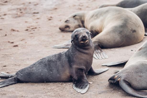 Robbenkolonie Cape Cross Seal Reserve Namibia